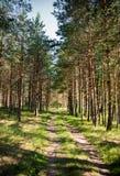 Paisagem bonita com o trajeto através da floresta do pinho imagem de stock royalty free