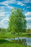 Paisagem bonita com os vidoeiros no lago Foto de Stock