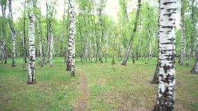 Paisagem bonita com vidoeiros brancos Bosque do vidoeiro Panorama bonito vídeos de arquivo