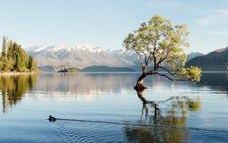 Paisagem bonita da ?rvore de Wanaka em Nova Zel?ndia fotos de stock royalty free