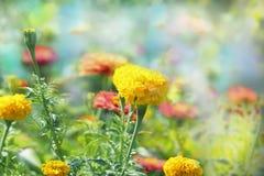 Paisagem bonita da mola, cabeças amarelas das flores dos cravos-de-defunto no fundo verde natural com foco seletivo Fotos de Stock