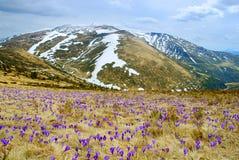 Paisagem bonita da mola em Carpathians com açafrões de florescência Imagem de Stock