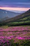 Paisagem bonita da montanha com os prados cor-de-rosa de florescência do ró fotos de stock royalty free