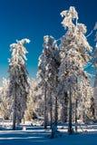 Paisagem bonita das árvores da neve Imagens de Stock Royalty Free