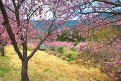 Paisagem bonita de árvores cor-de-rosa da flor de cerejeira entre as montanhas na mola Imagens de Stock Royalty Free