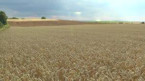 Paisagem bonita de Hana do campo, campos com ouro do trigo vídeos de arquivo