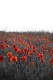 Paisagem bonita do campo da papoila do dia de Rememberence com espaço da cópia Fotografia de Stock Royalty Free