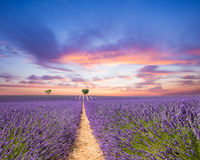 Paisagem bonita do campo de florescência da alfazema fotografia de stock royalty free