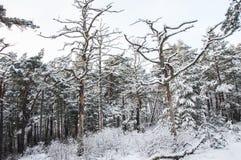 Paisagem bonita Pinhos do inverno na floresta Fotografia de Stock Royalty Free
