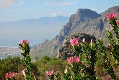 Paisagem Cape Town do Protea imagem de stock royalty free