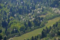 Paisagem Carpathian da mola com as peras da florescência branca, os arbustos verde-claro e os abetos vermelhos escuros no montanh imagem de stock royalty free
