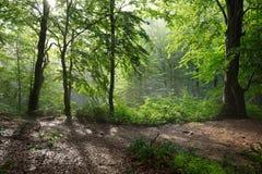 Paisagem colorida com floresta da faia e o sol, com os raios de luz brilhantes que brilham belamente através das árvores e da név Fotos de Stock