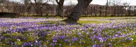 Paisagem colorida da mola na vila Carpathian com campos de açafrões de florescência Fotos de Stock
