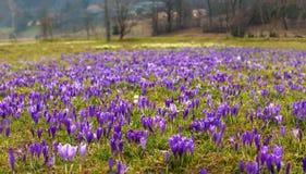 Paisagem colorida da mola na vila Carpathian com campos de açafrões de florescência Imagem de Stock Royalty Free