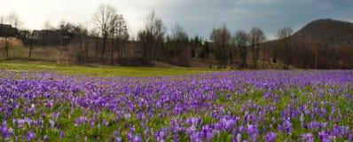 Paisagem colorida da mola na vila Carpathian com campos de açafrões de florescência Fotografia de Stock Royalty Free