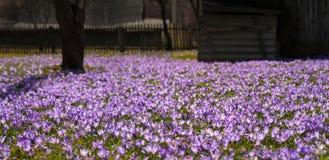 Paisagem colorida da mola na vila Carpathian com campos de açafrões de florescência Fotos de Stock Royalty Free