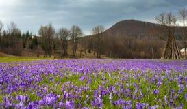 Paisagem colorida da mola na vila Carpathian com campos de açafrões de florescência Foto de Stock