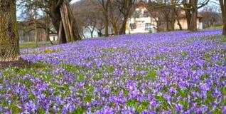 Paisagem colorida da mola na vila Carpathian com campos de açafrões de florescência Imagens de Stock Royalty Free