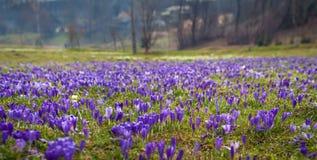 Paisagem colorida da mola na vila Carpathian com campos de açafrões de florescência Fotografia de Stock