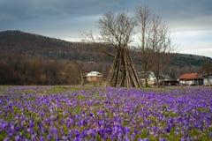 Paisagem colorida da mola na vila Carpathian com campos de açafrões de florescência Imagem de Stock