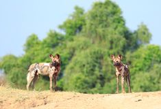 Paisagem colorida de dois cães de caça africanos que estão contra um céu vibrante azul e uns arbustos verdes luxúrias em Luangwa  imagem de stock