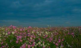 Paisagem com as flores coloridas do cosmos Fotografia de Stock