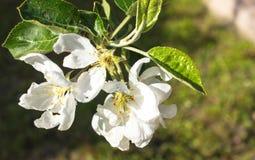 Paisagem com as flores da mola da maçã Foco macio nas flores Imagens de Stock