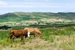 Paisagem com as vacas no ireland verde foto de stock royalty free