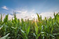 Paisagem com campo de milho Imagem de Stock Royalty Free