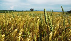 Paisagem com campo de trigo Fotos de Stock