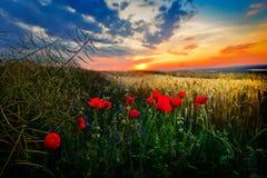 Paisagem com campos de florescência no verão Fotografia de Stock