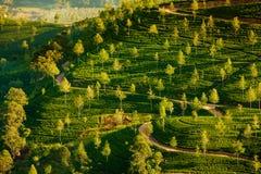 Paisagem com campos verdes do chá Imagem de Stock