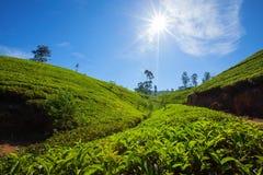 Paisagem com campos verdes do chá Imagens de Stock