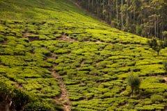 Paisagem com campos verdes do chá Imagem de Stock Royalty Free