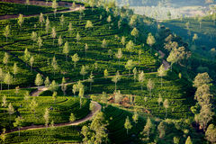 Paisagem com campos verdes do chá Foto de Stock Royalty Free