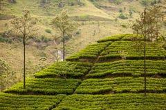 Paisagem com campos verdes do chá Foto de Stock