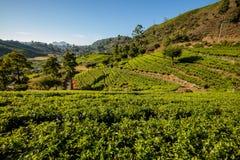 Paisagem com campos verdes do chá Fotos de Stock