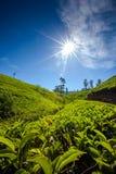 Paisagem com campos verdes do chá Fotografia de Stock