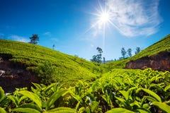 Paisagem com campos verdes do chá Imagens de Stock Royalty Free
