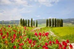 Paisagem com ciprestes e as flores vermelhas brilhantes Imagem de Stock