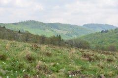 Paisagem com a clareira dos narcisos amarelos (no Romanian: Poiana Narciselor) e montanhas Foto de Stock Royalty Free