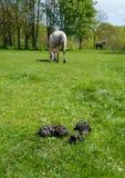 Paisagem com estrume, grama e cavalos Foto de Stock Royalty Free