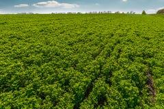 Paisagem com fileiras no campo e nas nuvens do trevo Imagem de Stock Royalty Free