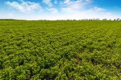 Paisagem com fileiras no campo e nas nuvens do trevo Imagens de Stock