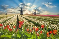 Paisagem com flores e moinho de vento da tulipa Fotos de Stock Royalty Free