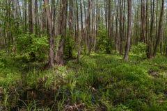 Paisagem com floresta do amieiro Fotografia de Stock Royalty Free