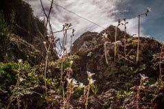 Paisagem com montanhas e as flores brancas pequenas Fotos de Stock