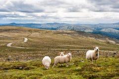 Paisagem com montanhas e carneiros, Noruega Imagem de Stock Royalty Free