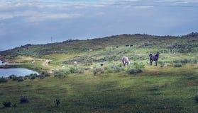 Paisagem com os cavalos selvagens no campo verde da mola no pasto de Extremadura fotografia de stock