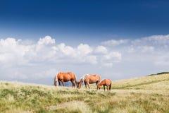 Paisagem com os cavalos selvagens perto da montanha Fotos de Stock
